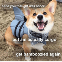 Bamboozled Again: hehe you thaught was shork  but am actually corgo  get bamboozled again