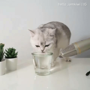Cats, Club, and Dank: hello iamkiwi IG Remind your mates to stay hydrated  By Kiwi Cat  Join The Meowed Club for more cats videos 🐾!