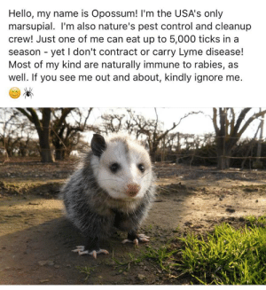 1dietcokeinacan: They forgot to mention: he's baby .: Hello, my name is Opossum! 'm the USA's only  marsupial. I'm also nature's pest control and cleanup  crew! Just one of me can eat up to 5,000 ticks in a  season - yet I don't contract or carry Lyme disease!  Most of my kind are naturally immune to rabies, as  well. If you see me out and about, kindly ignore me 1dietcokeinacan: They forgot to mention: he's baby .