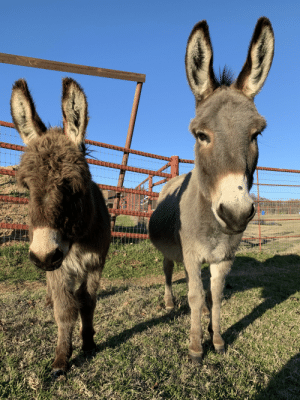 Hello Reddit meet Wally and Rosey🌹. Our 2 new miniature donkeys.: Hello Reddit meet Wally and Rosey🌹. Our 2 new miniature donkeys.