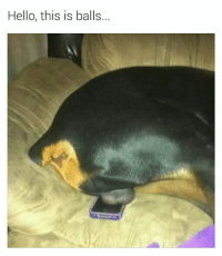 no dog is not available, can I take a message? (thanks for following @chaos.reigns_): Hello, this is balls... no dog is not available, can I take a message? (thanks for following @chaos.reigns_)