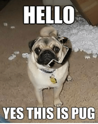 Hello, yes this is pug                 BOL   #pug: HELLO  YES THIS IS PUG Hello, yes this is pug                 BOL   #pug