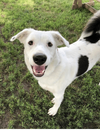 Beautiful, Children, and Dogs: HELP! I'm Sam and I recently tested positive for heartworm disease. I'm looking for someone who will foster me (and maybe adopt me!?!) as I go through treatment. I'm about 2 yrs. old and weigh a whopping 72lbs. And I don't have an ounce of fat on me. I'm a big, beautiful boy with the softest fur and a tail that curls right over my back. I'm a very fun guy who is happy to play with other dogs here in Tails playgroups, or have fun by myself. I love people, too, and enjoy hanging out with them. I'm a bit too big, young and playful for children, however. I'm house-trained, running in circles when I need to go out. I promise, once you meet me you will fall in love...like just about everyone I've met here so far. If you can't foster me, please tell your friends. Going through heartworm treatment while in a shelter is scary, more stressful and lonely than being in a home where I will be loved and comforted. If interested in meeting and possibly fostering me, please email Foster Coordinator, Loren, at ljones@tailshumanesociety.org