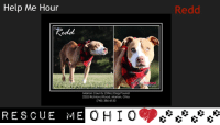 "Poor Redd has been through so much in his life. He really needs a hero!  REDD-Pit Mix Marion County Dog Pound Marion, OH ~LK~  Redd was likely dumped at the quarry. He is very underweight and walks like an old soul due to being so emaciated or living his life in a crate where he was ignored. He is estimated at around 3 yrs old or under.  He is staying in our office where he has a baby mattress and toddler cot to sleep on. The vet believes he is not injured just in need of some TLC and food. We feed him a wet & dry mix by hand and he is on meds.  He could use a quiet foster home if any rescues are willing to pull him.  UTD on vaccines but too frail for neuter surgery right now. He is potty trained but sometimes it takes a while to get him to the door. He will let you carry him.  Please contact the shelter if you are able to help Redd!  https://www.facebook.com/345745602116365/photos/a.477911465566444.111051.345745602116365/1312316075459308/?type=3&theater  Marion County Dog Pound 2252 Richland Rd Marion, OH 43302 (740) 386-6150 E-mail: marioncountydogpound@gmail.com: Help Me Hour  ""Redd  Marion County (Ohio) Dog Pound  2252 Richland Road, Marion, Ohio  (740) 386-6150  RESCUE ME  Redd Poor Redd has been through so much in his life. He really needs a hero!  REDD-Pit Mix Marion County Dog Pound Marion, OH ~LK~  Redd was likely dumped at the quarry. He is very underweight and walks like an old soul due to being so emaciated or living his life in a crate where he was ignored. He is estimated at around 3 yrs old or under.  He is staying in our office where he has a baby mattress and toddler cot to sleep on. The vet believes he is not injured just in need of some TLC and food. We feed him a wet & dry mix by hand and he is on meds.  He could use a quiet foster home if any rescues are willing to pull him.  UTD on vaccines but too frail for neuter surgery right now. He is potty trained but sometimes it takes a while to get him to the door. He will let you carry him.  Please contact the shelter if you are able to help Redd!  https://www.facebook.com/345745602116365/photos/a.477911465566444.111051.345745602116365/1312316075459308/?type=3&theater  Marion County Dog Pound 2252 Richland Rd Marion, OH 43302 (740) 386-6150 E-mail: marioncountydogpound@gmail.com"