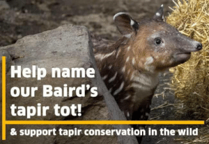 Help, Wild, and Name: Help name  our Baird's  tapir tot!  & support tapir conservation in the wild