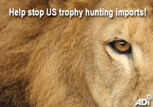 Animals, Memes, and News: Help stop US trophy hunting imports!  ADI Named after dear Cecil the lion, who was lured from a protected African reserve to be killed by an American hunter, the CECIL Act (HR2245) seeks to stop the US import of endangered animal trophies. TOMORROW the CECIL Act will go before the US House Water, Oceans, and Wildlife Subcommittee. Sponsored by Representative Raul M. Grijalva, HR2245 would also terminate the International Wildlife Conservation Council, whose sole purpose is to promote and enable trophy hunting.   If you live in the US, the world's largest trophy hunting importer, please support this important bill  to protect threatened wildlife from the hunters. Ask your legislators to support the CECIL Act (HR2245) TODAY: http://www.ad-international.org/take_action/go.php?id=4037  If you live in the UK, you can act against trophy hunting by urging your MP to support EDM 1829, which calls for a ban on the import of trophies from endangered species. Contact them here: www.theyworkforyou.com   Help animals in the wild and captivity. Receive the latest ADI campaign news and actions: https://www.ad-international.org/emailsignup/
