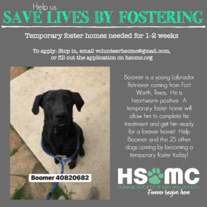 Dogs, Memes, and Email: Help us  SAVE LIVES BY FOSTERING  Temporary foster homes needed for 1-2 weeks  To apply: Stop in, email volunteerhsomc@gmail.com,  or fill out the application on hsomc.org  Boomer is a young Labrador  Retriever coming from Fort  Worth, Texas. He is  heartworm positive. A  mporary foster home wil  allow him to complete his  treatment and get him ready  for a forever home! Help  Boomer and the 25 other  dogs coming by becoming a  temporary foster today!  Boomer 40820682  HUMANE SOCIETY OF MIDLAND COUNTY  Forever begins here As many of you know on Saturday (time yet undetermined) we will be welcoming 26 dogs from an overcrowded shelter in Fort Worth, TX.  As you may also know, our little shelter is already about half way full due to local dogs as well as dogs we pulled from Clare and Gladwin counties just yesterday.  At this time we are seeking temporary foster homes to help us house several of these dogs for a few weeks while space clears up in the shelter!  In addition to that we have some dogs at the shelter now who would benefit from foster homes, and some dogs coming (such as Boomer pictured below!) who are Heartworm Positive and could use a foster home to recover in!  The dogs arriving from TX are between 4 months - 3 years old, ranging in size and breed!  Primarily medium/large breed dogs.  Please stop into HSoMC to get signed up to be a foster parent today!!  Interested families can also email volunteerhsomc@gmail.com or fill out our foster application at hsomc.org and bring it in.  We expect the temporary commitment to last 1-2 weeks at this time!  #pleasehelp #foster #temporarycommitment #savealife #hsomc #foreverbeginshere #giveitatry