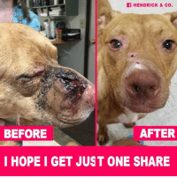 Click, Memes, and Happy: HENDRICK & Co.  BEFORE  AFTER  I HOPE I GET JUST ONE SHARE This is the power behind a Hendrick & Co. t-shirt, hoodie or necklace! Get yours today!   Click to read our HAPPY TEARS UPDATE on Ophelia who was SHOT IN THE FACE! ► http://dogco.org/save-ophelia-scr