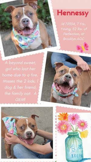 """Best Friend, Children, and Click: Hennessy  Id 70354, 7 Yrs.,  Young, 52 lbs. of  Perfection, at  Brooklyn ACC  A beyond sweet,  girl who lost her  home due to a fire.  Misses the 2 kids, 1  dog & her friend  the family cat. A  GEM!  Bloa  IDEAL TO BE KILLED 8/13/19  """"A fire swept through our home, and in that one terrible moment, my family became homeless. I miss my parents, I miss the children I adored, I miss my friend Chase (the little dog I loved and lived with and who has already been adopted) and I miss my other best friend who was the family cat. All I dream of is the life I lost, and all I can hope for now, is a new life with a new family who will love me. Please share me, or take me in? """" – Hennessy  HENNESSY lost it all. Everything that was her world. This super sweet, friendly, outgoing, stellar rated LEVEL 1 middle aged lady who thought her happy life would never come to an end is now sitting in a cage at the shelter, trying to smile through her heartbreak. She is a wiggly and waggy lovebug who only wants to be cuddled and kissed and told that everything will be alright. But unless someone fosters or adopts Hennessy, in all likelihood she could lose her life. Everyone needs a friend – Hennessy especially -- and she is so deserving of every happiness her heart can hold! Won't you step up for her and give her back the family life she loved? Please Message our page or email us at MustLoveDogsNYC@gmail.com for assistance fostering or adopting this slice of perfection on 4 adorable paws.  MY MOVIE: Hennessy ~ https://youtu.be/SXmmlbc_fyc  HENNESSY, ID# 70354, 7 yrs old, 56 lbs, Unaltered Female Brooklyn ACC, Large Mixed Breed, Brown / White  Owner Surrender Reason: The Family home was destroyed by fire, homeless Shelter Assessment Rating: LEVEL 1 Medical Behavior Rating: 2. Blue   CAME IN WITH Chase (70356) (not publicly listed)  OWNER SURRENDER NOTES - BASIC INFORMATION: Hennessy is approx. 7 year old female the owner had from a breeder. She is an unaltered"""