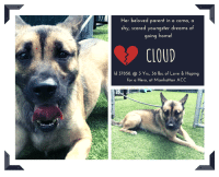 """Andrew Bogut, Beautiful, and Cats: Her beloved parent in a coma, a  shy, scared youngster dreams of  oing home  CLOUD  ld 37858. @ 3 Yrs, 36 lbs. of Love & Hoping  for a Hero, at Manhattan ACC TO BE KILLED - 8/17/2018  """"I wandered lonely as a cloud....""""  William Wordsworth  She watched as her parent had a stroke, and then watched her slip away into a coma.  Cloud didn't know what to do.  She started to whine and cry.  Then a man came by who said that Cloud's mom was his aunt, but instead of helping Cloud by taking Cloud in, he instead packed her off the Manhattan Center where her nightmare began.  Cloud is a shy,little mouse who pancaked to the floor on arrival at the shelter, drooling profusely, overwhelmed.  Cloud only wants to go home to the parent she has loved for 3 long years to her quiet, wonderful, comfortable life with the person who adored her and pampered and adored her.  Now she searches every face for the parent she has lost, and in play yard she scampers around the perimeters trying to find a way out – a way home.   Cloud is not aggressive, she is fearful and she stays crouched, low to the ground, wishing the world would just go away.  It will, and sooner than she thinks unless a kind person takes her in, an experienced foster or adopter in an adult only home who can give her the time, the patience, the structure and the love that she will need to heal her broken heart and find her smile again.  We know that Cloud is a loyal, affectionate, loving companion.  But right now she is just overwhelmed and needs OUT.  Please don't overlook this beautiful, petite girl who so needs a hero to save her life.  PRIVATE MESSAGE our page or email us at MustLoveDogsNYC@gmail.com for assistance if you can foster or adopt her and whisk her to safety.    Sad, confused, lonely Cloud needs a quiet, loving home:  https://www.youtube.com/watch?v=MOAjOfY5vVE """"  CLOUD, ID # 37858, 3 Yrs.Old, 36.6 lbs.  Manhattan ACC, Medium Mixed Breed, Fawn, Unaltered Female OWNER SURRENDER R"""