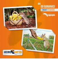 Memes, Banana, and Stocks: HER  GIFTS THAT SAVE LIVES  GIFTS  GO BANANAS!  A BASKET OF BANANAS  DETECTION RATS TECHNOLOGY  apopo  Vile Palonen Looking for the perfect stocking stuffer?! Check out our HeroRat gifts! Give the gift of making an impact savetheworld 🐀 link in bio 🐀 ratsofinstagram donate nonprofit