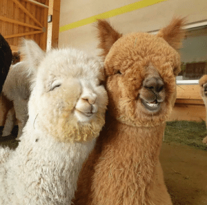 Here's a photo of two extremely photogenic alpacas to (hopefully) brighten up your day! (via): Here's a photo of two extremely photogenic alpacas to (hopefully) brighten up your day! (via)
