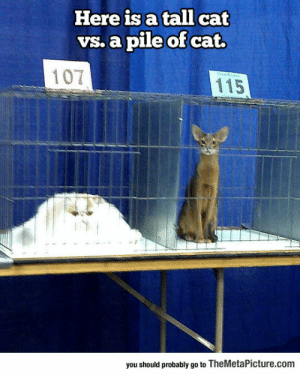 Cats, Tumblr, and Blog: Here is a tall cat  vs. a pile of cat.  107  115  you should probably go to TheMetaPicture.com srsfunny:Some Different Types Of Cats