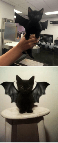 Here's a kitten dressed as a bat to brighten up your day https://t.co/CsS4wqfitr: Here's a kitten dressed as a bat to brighten up your day https://t.co/CsS4wqfitr