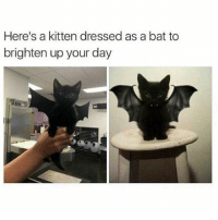 @TEAMNOBADTIMES provides the best animal memes to brighten your day 💯💕😍: Here's a kitten dressed as a bat to  brighten up your day @TEAMNOBADTIMES provides the best animal memes to brighten your day 💯💕😍