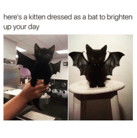 Funny, Bat, and Kitten: here's a kitten dressed as a bat to brighten  up your day I would die for this kitty😻 happyoctober