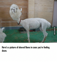 llama: Here's a picture af shaved llama in case you're feeling  down.