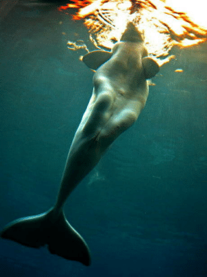 Mermaids, Mistaken, and Whales: Heres why some sailors used to mistaken beluga whales as mermaids