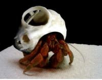Dank, Mouse, and Skull: Hermit crab lives in the eye socket of a mouse skull