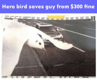 Memes, 🤖, and Hero: Hero bird saves guy from $300 fine Not all hero's wear capes.