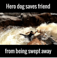 """I got you fam!"" 🐶❤🙌  via ViralHog: Hero dog saves friend  ViralHag  from being swept away ""I got you fam!"" 🐶❤🙌  via ViralHog"