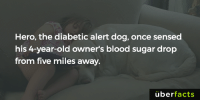 Memes, Diabetes, and Metro: Hero, the diabetic alert dog, once sensed  his 4-year-old owner's blood sugar drop  from five miles away.  uber  facts Crazy... More likely to have been a coincidence though. Still, a great story. http://metro.co.uk/2016/04/28/diabetic-alert-dog-sensed-little-girl-was-in-trouble-even-though-they-were-miles-apart-5846973/