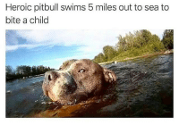 Pitbull, Brave, and Dank Memes: Heroic pitbull swims 5 miles out to sea to  bite a child So brave