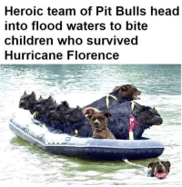 Children, Head, and Bulls: Heroic team of Pit Bulls head  into flood waters to bite  children who survived  Hurricane Florence Media spin