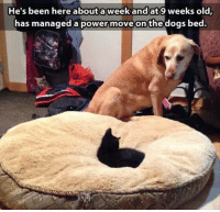 Grumpy Cat, Powers, and Move: He's been here about week and at 9 weeks old,  has managed a power move on the dogs bed.