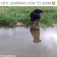 Dogs, Memes, and How To: HE'S LEARNING HOW TO SWIM  IG: @gsdkimber I'm so proud 😭 🎥: @gsdkimber dogs pups dogsofinstagram