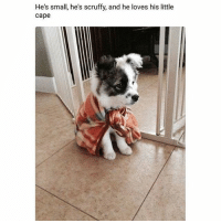 Memes, Ted, and Hilarious: He's small he's scruffy, and he lo  He's small, he's scruffy, and he loves his little  cape Blessing ur feed 😇🙏🏼This is the only thing that's important right now 😭💯💕(@hilarious.ted)