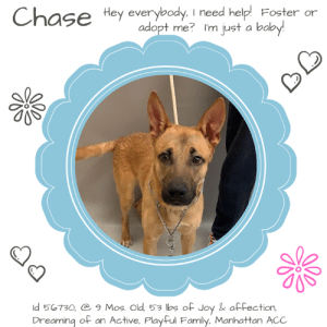 """Andrew Bogut, Bones, and Cats: Hey everybody, I need help Foster or  adopt me? I'm just a baby  ld 50730, 9 Mos. Old, 53 lbs of Joy & affection  Dreaming of an Active, PlayFul Family, Manhattan ACC TO BE KILLED – 3/21/2019     Playful, affectionate, friendly and outgoing, CHASE is just a baby puppy who dreams of an active family who will take him for runs or hikes or a nice swim (come this summer) at the local pond.  We all said """"aww"""" when we read his previous parent's notes about how he just adores water, he likes baths, and he will just lay down and enjoy his spa time.  What dogs do that?  All of ours try to escape the tub, getting us, the walls, the floors and ceilings soaked!   But not Chase.  He's a good boy, a sweet boy, a young boy who just needs a bit of puppy training and some structure so when he kisses kids he doesn't knock them over in his enthusiasm, and he learns to direct his exuberant personality in a gentler, more positive way.  The only reason he is even at the shelter is because his parent cited allergies and a new baby, hardly a decent excuse for dumping a sweet, young man like Chase.  Look at his sweet face.  There has to be an experienced foster or adopter in an adult only home (kids over age 13 ok) who would love a joyful, ray of sunshine in their lives.  Chase is all that and more.  Read his owner notes and then rush to PM our page or email us at MustLoveDogsNYC@gmail.com to foster or adopt baby boy Chase now and save his life.   CHASE, ID# 56730, 9 Mos. Old, 53.6 lbs, Neutered Male Manhattan ACC, Large Mixed Breed, Brown / Black Owner Surrender Reason:  New Baby, Allergies, Intake 3/10/2019 Shelter Assessment Rating:  New Hope Rescue Only  Medical Behavior Rating:   1.  GREEN  AT RISK MEMO:  Chase has exhibited a low threshold for arousal and quickly becomes overstimulated and is difficult to redirect. Due to Chase's high energy level and poor impulse control, we are recommending placement with a new hope rescue partner that can provide the """