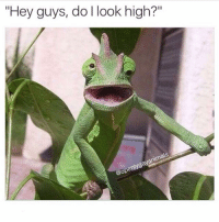 """Yes mr iguana, you do look high (@openlygayanimals): """"Hey guys, do l look high?  animals  @openlygay Yes mr iguana, you do look high (@openlygayanimals)"""
