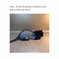 Cats, Lmao, and Girl Memes: Hey... If you're going to shave a cat  this is how you do it. LMAO...
