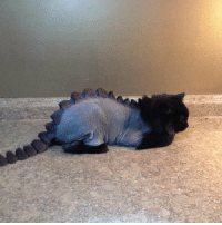 Funny, How, and Cat: Hey... If you're going to shave a cat, this is how you do it. https://t.co/BsGc76rbVA