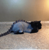 Girl Memes, How, and Cat: Hey... If you're going to shave a cat, this is how you do it. https://t.co/G5oqW3x8TR