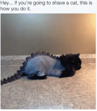 How, Cat, and You: Hey... If you're going to shave a cat, this is  how you do it