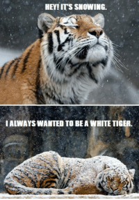 Dank, 🤖, and White Tiger: HEY! ITS SNOWING.  I ALWAYSWANTED TO BE A WHITE TIGER. <3