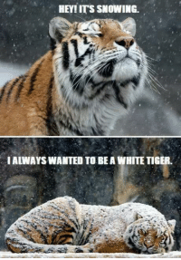 Grumpy Cat, White Tiger, and Hey: HEY! ITS SNOWING.  IALWAYSWANTED TO BE A WHITE TIGER You can tell :D