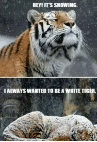 Grumpy Cat, White Tiger, and Bea: HEY!ITS SNOWING.  IALWAYSWANTED TO BEA WHITE TIGER Always wanted to be a....