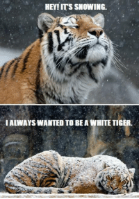 Dank, Snow, and Tiger: HEY! ITS SNOWING.  IALWAYSWANTED TO BEA WHITE TIGER. awwwww