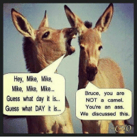 Happy Hump Day! ~ Pam: Hey, Mike, Mike,  Mike, Mike, Mike...  Bruce, you are  Guess what day it is...  NOT a camel  Guess what DAY it is...  You're an ass.  We discussed this  CAO Happy Hump Day! ~ Pam