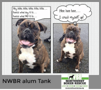 guess what day it is: Hey Mike, Mike. Mike, Mike, Mike...  Guess what doy it is...  Guess what DAy it is..  Hee hee hee..  I crack muse  NWBR alum Tank DORR HWECTE  BOXER RESCUE  ADOPT RESCUE FOSTER DONATE  www.nwboxerrescue.org