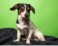 Hi! I'm Pippin but my foster mom calls me Pip the pipsqueak. I may look like a big old hound dog but I'm actually quite a little guy! I'm 4-years-old, full grown and only about 7 pounds!  I'm a Daschund mix (with a little Chihuahua and probably some Beagle sprinkled in). I came from a different kind of situation so although I'm a grown-up, I don't know how to do all the grown-up things yet. My foster mom is working on my potty training and crate training and I'm trying very hard to learn to be a good boy. I'm a little bit confused by my leash and the big Greyhound that lives at my house, but I love my little chihuahua sisters who live there, too.  I'm a sensitive guy who gets afraid of loud sounds and fast movements, but once I feel safe and loved, I know that will change. I'm already a big cuddle bug with my foster mom and love following her around to see what she's doing! I have no current medical needs and I probably wouldn't be great in a home with young children. I'm just looking for someone to love me and let me know that from now on my life is going to be happy, safe and full of cuddles and good snacks! Pippin is neutered, microchipped, utd on shots, and available for adoption now.  If you are interested in adopting Pippin or any of our adoptable animals, please visit our website at www.adoptastray.com today to start the  application process. # strayanimaladoptionprogram #saap #cincinnati #rescue #nonprofit #volunteer #foster #donate #adoptdontshop  #dogsofinsta #dogsofinstagram: Hi! I'm Pippin but my foster mom calls me Pip the pipsqueak. I may look like a big old hound dog but I'm actually quite a little guy! I'm 4-years-old, full grown and only about 7 pounds!  I'm a Daschund mix (with a little Chihuahua and probably some Beagle sprinkled in). I came from a different kind of situation so although I'm a grown-up, I don't know how to do all the grown-up things yet. My foster mom is working on my potty training and crate training and I'm trying very hard to l