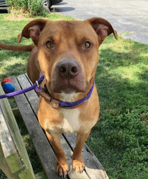Dogs, Friends, and Love: Hi, my name is Zeus - don't be scared off by my large appearance because at heart I am just a big teddy bear. While I've been at Tails I have made a lot of dog friends out in the play yard. At first I was a little nervous of other dogs, but now I have tons of friends. I am also quite the gentleman in my run, I keep it nice and tidy and I don't make a fuss. I love to go on walks and I behave very well on a leash. Please stop in for a snuggle real soon - you may just want to take me home!!    For additional information about adopting: https://www.tailshumanesociety.org/adopt/