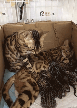 "hickey-hiccups: loveiseldritch:  bunjywunjy:  thenatsdorf: Supportive dad cat being there for his wife and kids.  ""SWEETIE, DO YOU NEED YOUR BELLY MOOSHED? YOU LOOK LIKE YOU NEED YOUR BELLY MOOSHED.""  That action is called ""snurgling"". It helps stimulate milk production.  Snurgling   Snurgling: hickey-hiccups: loveiseldritch:  bunjywunjy:  thenatsdorf: Supportive dad cat being there for his wife and kids.  ""SWEETIE, DO YOU NEED YOUR BELLY MOOSHED? YOU LOOK LIKE YOU NEED YOUR BELLY MOOSHED.""  That action is called ""snurgling"". It helps stimulate milk production.  Snurgling   Snurgling"
