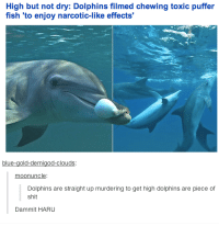 Dank, 🤖, and Demigod: High but not dry: Dolphins filmed chewing toxic puffer  fish to enjoy narcotic-like effects  blue  old-demigod-clouds  moonuncle  Dolphins are straight up murdering to get high dolphins are piece of  Shit  Dammit HARU #TumblrMadeMeDoIt