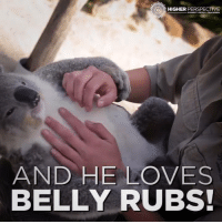 Love, Memes, and Credited: HIGHER  PERSPECTIVE  AND HE LOVES  BELLY RUBS! Chillest Koala EVER! 😂😂😂😂😂  Credit: Symbio Wildlife Park