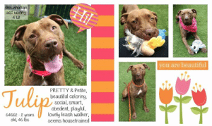 Beautiful, Best Friend, and Dogs: Hil  @manhattan  acc waiting  4 U!  you are beautiful  Julyp  PRETTY & Petite,  beautiful coloring.  social, smart,  obedient, playful,  lovely leash walker,  seems housetrained  64662-2 years  old, 46 lbs INTAKE DATE: 06-02-2019  TULIP IS GOING TO MAKE A WONDERFUL COMPANION TO AN ACTIVE FAMILY :) A volunteer writes: Tulip is a red flower who is a great ball player and retriever. As she enters the yard, she goes right to the toy bin to get a ball or two. She is quite smart and means business! She is a real Cheetah when she runs, a shooting rocket when she jumps and makes sweet eyes when she brings back a toy into my lap. Lets play, again and again! Tulip walks well on the leash, does her business in the street and is polite when small critters neared. She is a good listener, sits on commands, even lays down by my feet and enjoys togetherness with her caretaker. Tulip is a beautiful young gal, energetic, sociable, friendly and very playful who will make a wonderful companion to an active owner or family. She would love to meet you and be your very own forever best friend! Tulip is at the Manhattan Care Center.  MY MOVIE: Pretty Tulip is a retriever https://youtu.be/bRr9_XUeaUI  TULIP@MANHATTAN ACC Tulip ID# 64662  Sex: Female Age: 2 years old Length: Short Is Vaccinated: Yes Coat Type: Smooth Primary Color: Brown Brindle Weight: 46 lbs. Shelter Assessment Rating: Medical Behavior Rating: Blue Intake Date: 06-02-2019  My health has been checked. My vaccinations are up to date. My worming is up to date. I have been microchipped.  Animal Identification Animal ID: 64662  Please take note of the Animal ID before contacting us   *** TO FOSTER OR ADOPT ***   If you would like to adopt a NYC ACC dog, and can get to the shelter in person to complete the adoption process, you can contact the shelter directly. We have provided the Brooklyn, Staten Island and Manhattan information below. Adoption hours at these facilities is Noon – 8:00 p.m. (6: