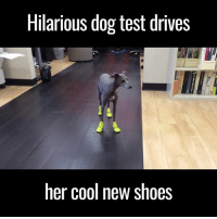 Driving, Memes, and Shoes: Hilarious dog test drives  her cool new shoes LOL! Why do dogs hate wearing shoes? Hahaha!